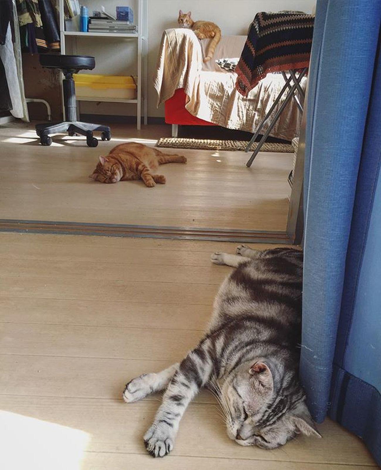 アメリカンショートヘアー アメショ Americanshorthair ズズ ズズ子 Zuzu ズズっぺ シルバータビー Cat Neko ねこ 猫 ねこ Cats スコティッシュフォールド Scottishfold 茶トラ ロロ Lolo コケティッシュフォールド コケティッシュホールド Piopio Pio ピオ ズっぺもロロもすでに暑そうな…朝の3ニャンでおはようございます…😆😸💦