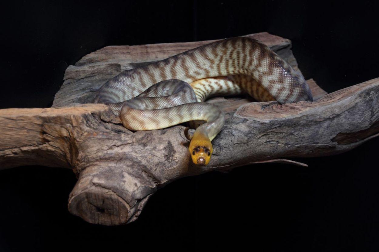 Reptiles Reptile Photography Snake Python Woma