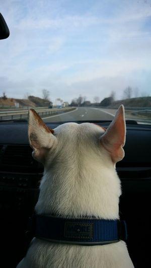 Animal Themes Animal Dog Drive Fun Road Bullterrier Harvey
