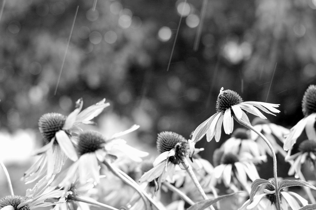 Blooming Echinacea Purpurea Flower Flower Head Fragility Freshness Garden Greyscale Growth Nature No People Outdoors Petal Plant Rain Raindrops Summer