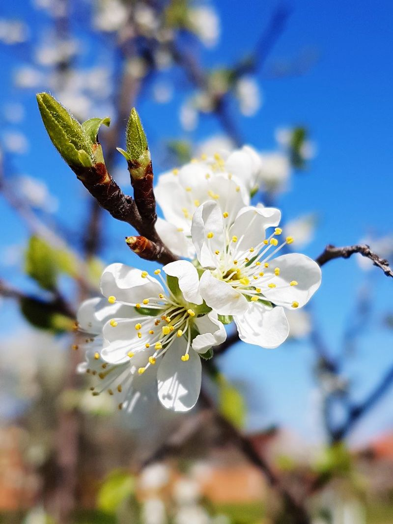 Flower Plant Blossom Fragility Nature Springtime Growth Close-up Beauty In Nature No People Focus On Foreground Day Branch Outdoors Flower Head Sky Freshness Tree Cherry Blossoms Cherry Tree Cherry Tree Flower EyeEm Gallery EyeEmNewHere Beauty In Nature Nature