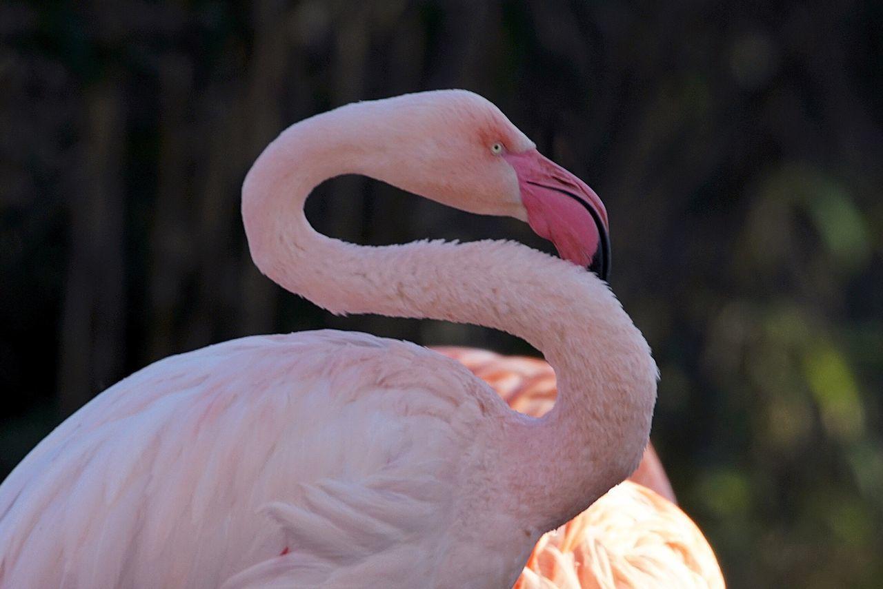 Bird Flamingo Birds Bird Photography Birdwatching Zoo Berlin Open Edit Tadaa Community Pastel Power AMPt_community EyeEm Best Edits Eye4photography