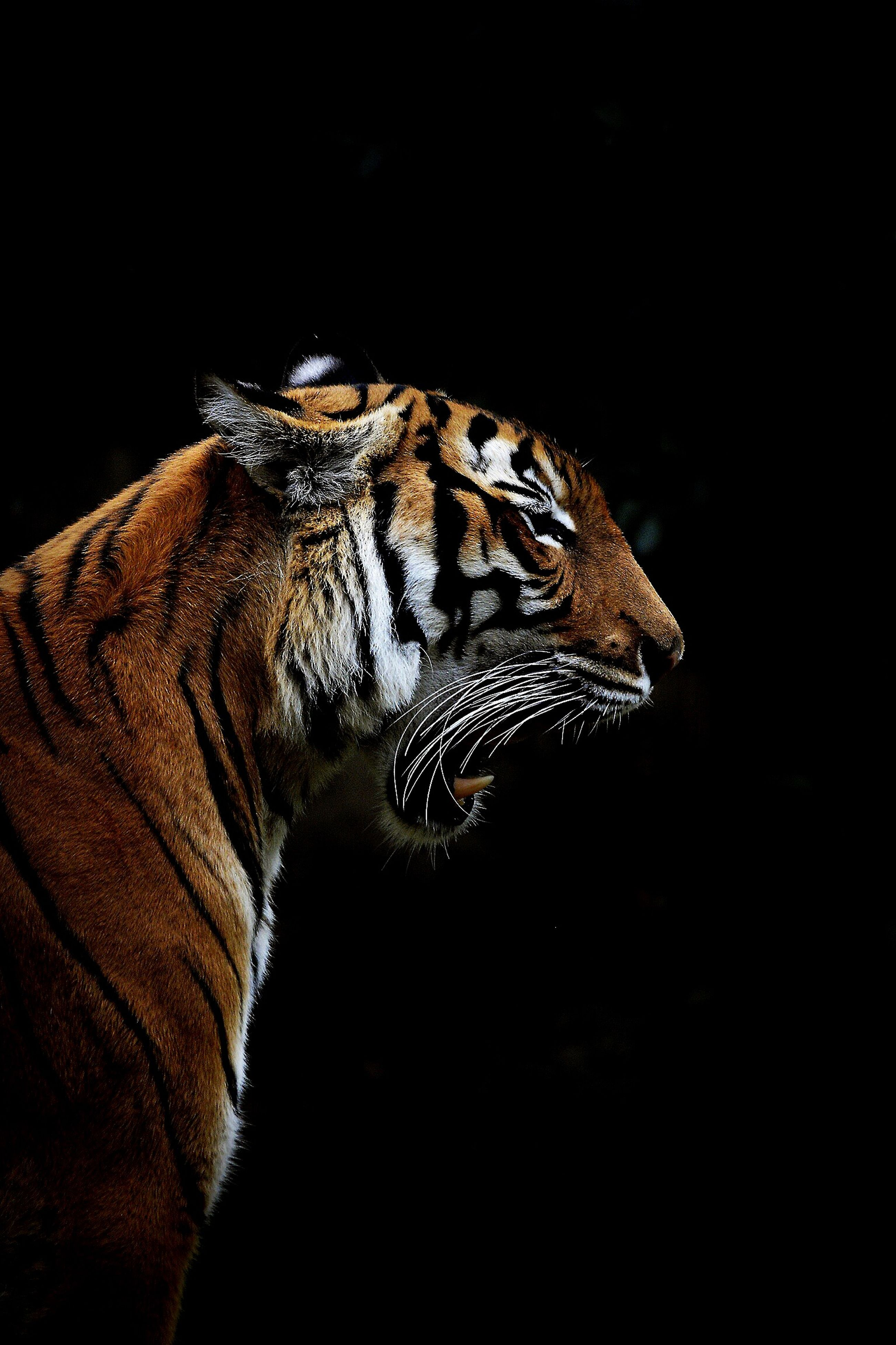 Roar🐯 Tiger Animals Animal Wild Cat Feline Roar | EyeEm - photo#43