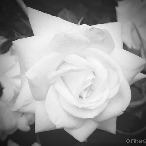 DewDropsInTheGarden: MsGreenThumb👍💚 Homegrown HappyFriday 🌸🌷🌿💨🙏💚 Passion DanniGuns💪 Roses Blacknwhite DanniTime