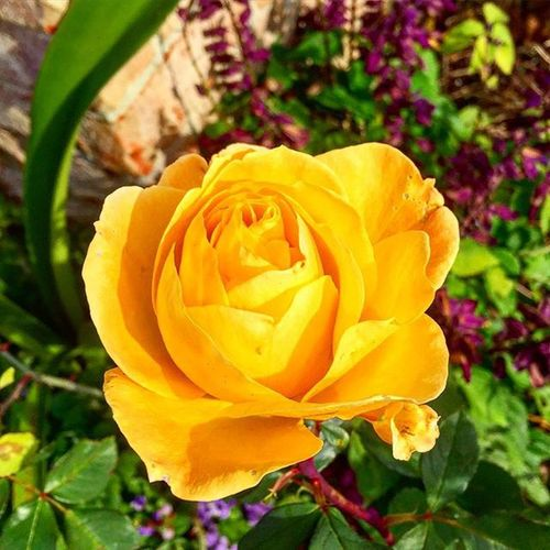 Whatisee Yellow Yellowrose FallFlowers Myview Floral Iphoneonly Igers Beautiful