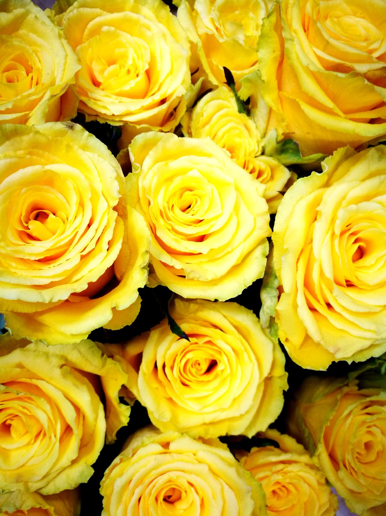 Let's talk about yellow roses 😉 Nature Close-up Full Frame Yellow Backgrounds No People Indoors  Beauty In Nature Freshness Fragility Day Rose🌹 Rose - Flower Roses🌹 Yellow Flower Yellow Flowers Yellow Rose Yellow Roses