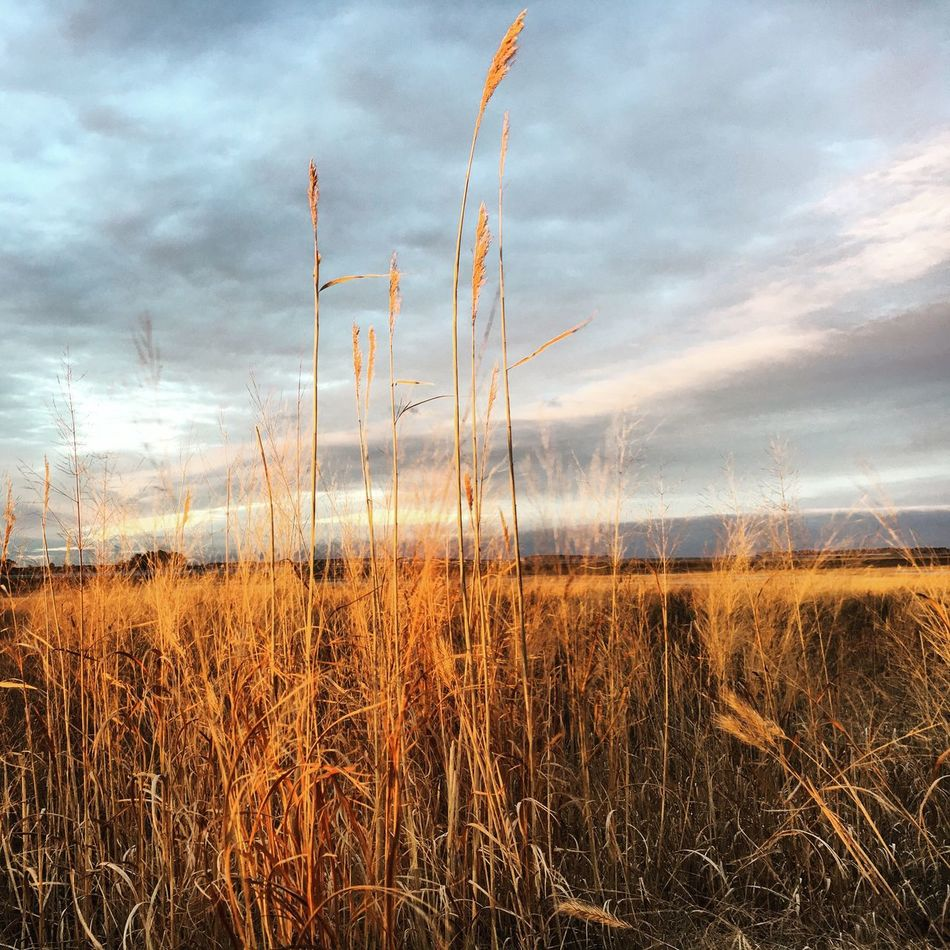 At sunset Nature Growth Sky Field Tranquility Tranquil Scene Grass Beauty In Nature Rural Scene Scenics Outdoors Cloud - Sky Plant No People Tall Grass Agriculture Landscape Day