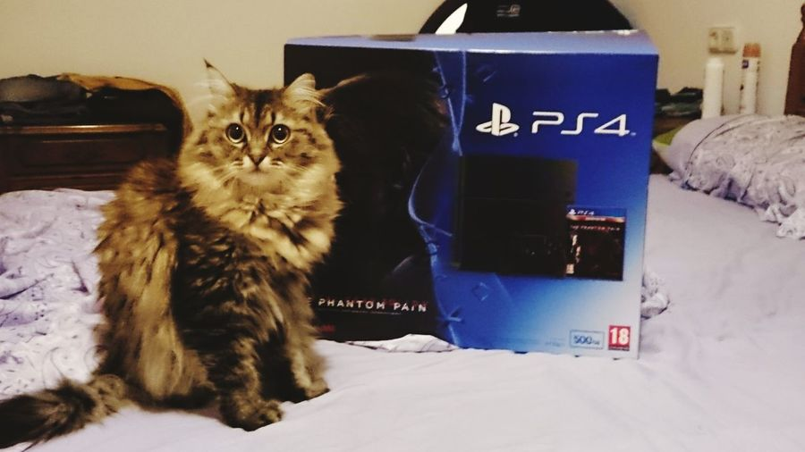 Hi! Spain♥ Cat♡ Suki Mascotas Gato😽 Hello World Ilovemycat Hello World Mainecoon Playstation4