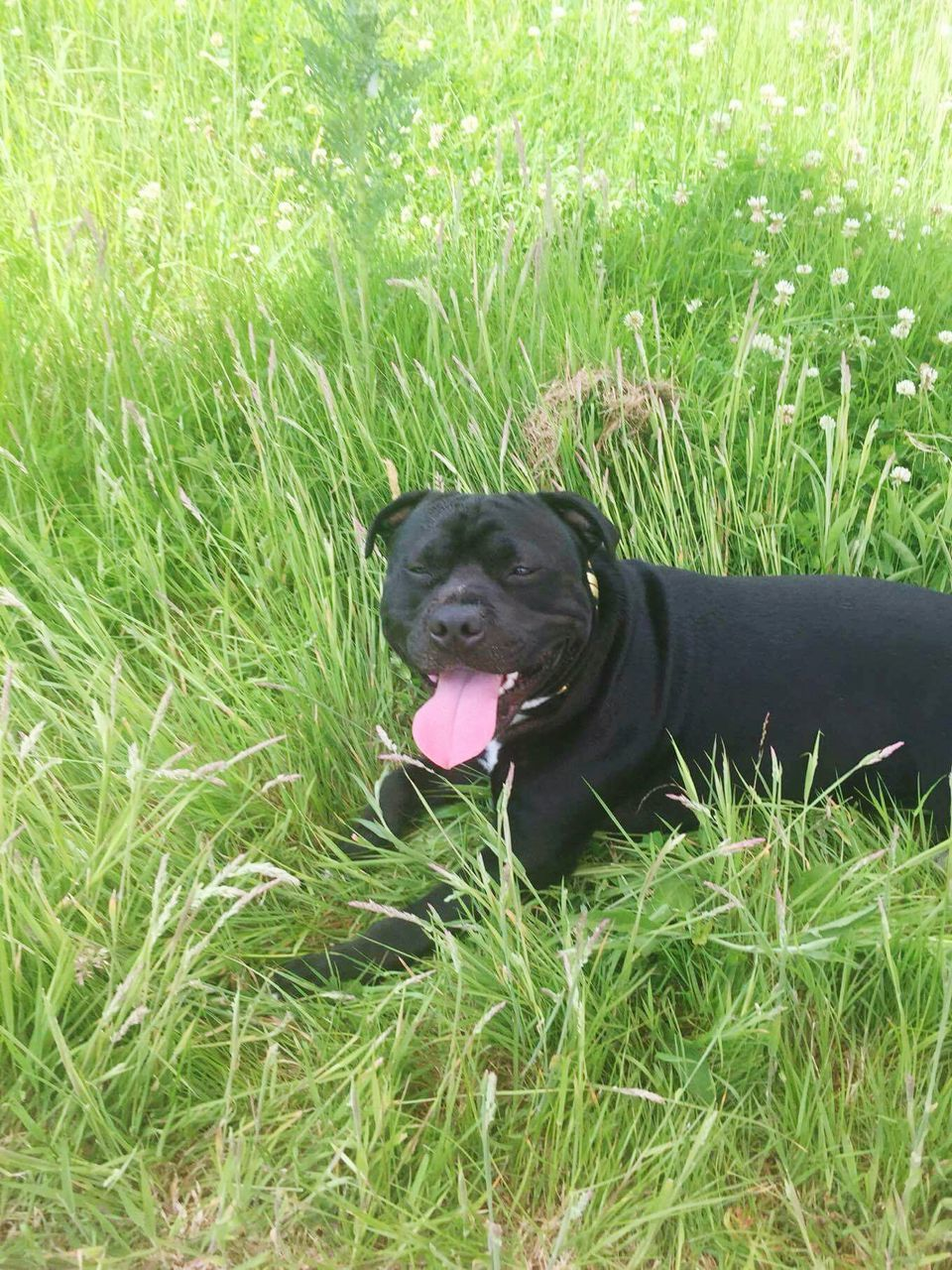 dog, grass, pets, one animal, domestic animals, animal themes, sticking out tongue, mammal, green color, black color, growth, animal tongue, field, panting, nature, black labrador, outdoors, no people, day, close-up
