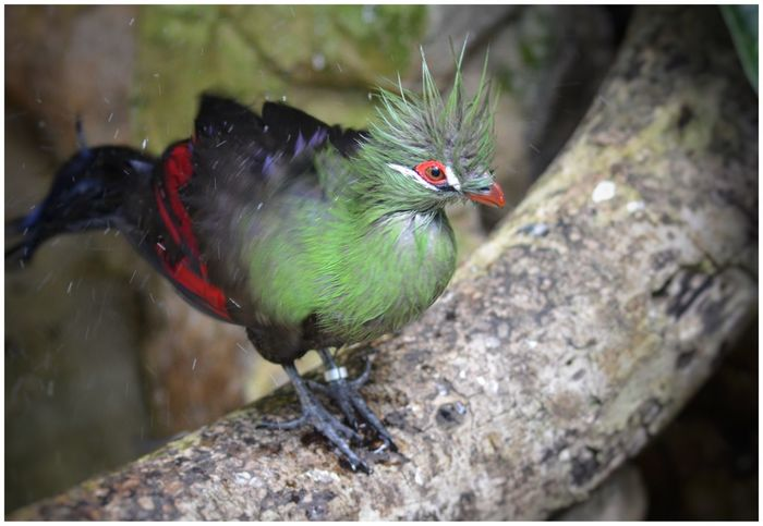 Just Out The Shower Bad Hair Day Guinea Turaco Turaco Bird Photography Bird Humour Punk Birds Birds_collection Eye4photography  EyeEm Gallery EyeEm Nature Lover EyeEm Eyeemphotography Eyemphotography Wildlife & Nature Nature Nature_collection Beautiful Nature Green Color Green Birds🐦⛅ Eye4photography  Outdoors