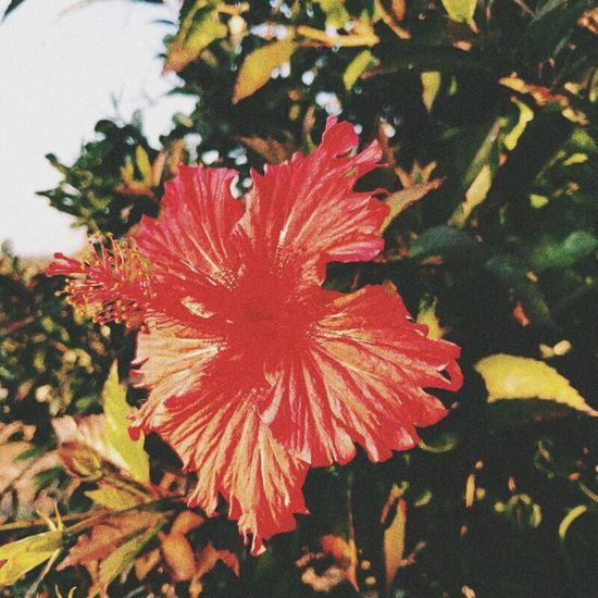 Hibiscus Flower Red