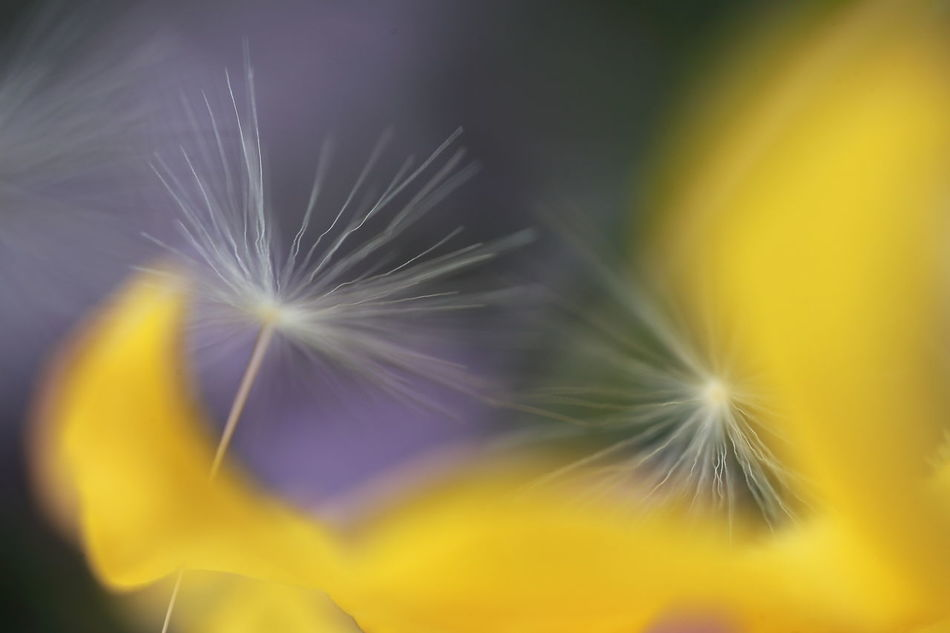 Backgrounds Beauty In Nature Blooming Close-up Dandelion Detail Extreme Close-up Flower Flower Head Focus On Foreground Fragility Freshness Growth Macro Melancolic No People Petal Plant Pollen Selective Focus Softness Surreal Pivotal Ideas Yellow Fine Art Photography