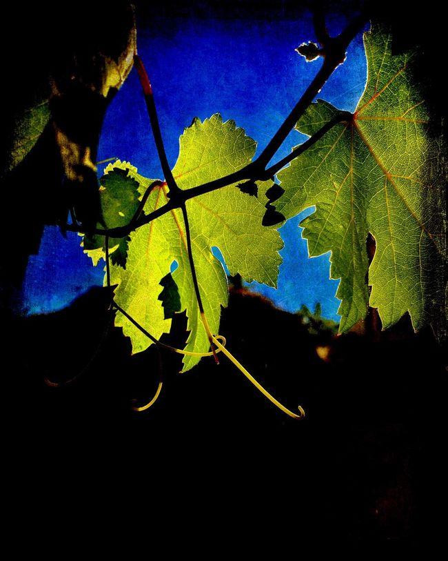 Vinis Vinifera Colour Of Life Vineyard Vine Leaf Leaves Green Mediterranean Food Vineyard Cultivation Sun Shadows & Lights Shine Low Angle View Plants Day
