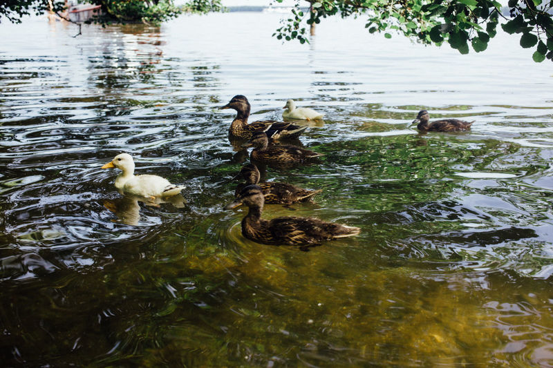 Diversity Racism Animal Themes Animal Wildlife Animals In The Wild Bird Day Different Duck Duckling Ducks Goose Lake Nature No People Outdoors Swimming Togetherness Water Water Bird Waterfront White Wildlife Young Animal Young Bird