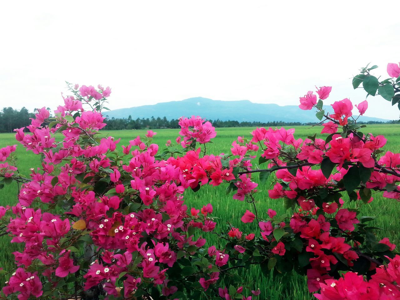 Close-Up Of Pink Flowers Against Landscape