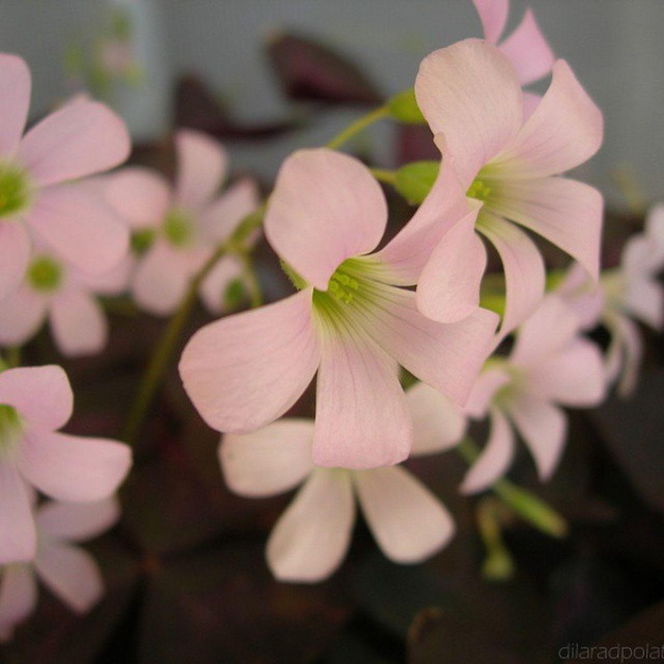 Neden bu kadar güzelsiniz ki? ♡ Balkonumdan Mybalkony Love Flower doğa fresh çiçek bitki plant spring pink narin pembe nature tazelik tabiatana delicate bahar güzellik pretty beauty Kemerköy Turkey nofilter noeffect