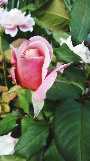 Rosebud Pink Blooming Leaves Green Nature