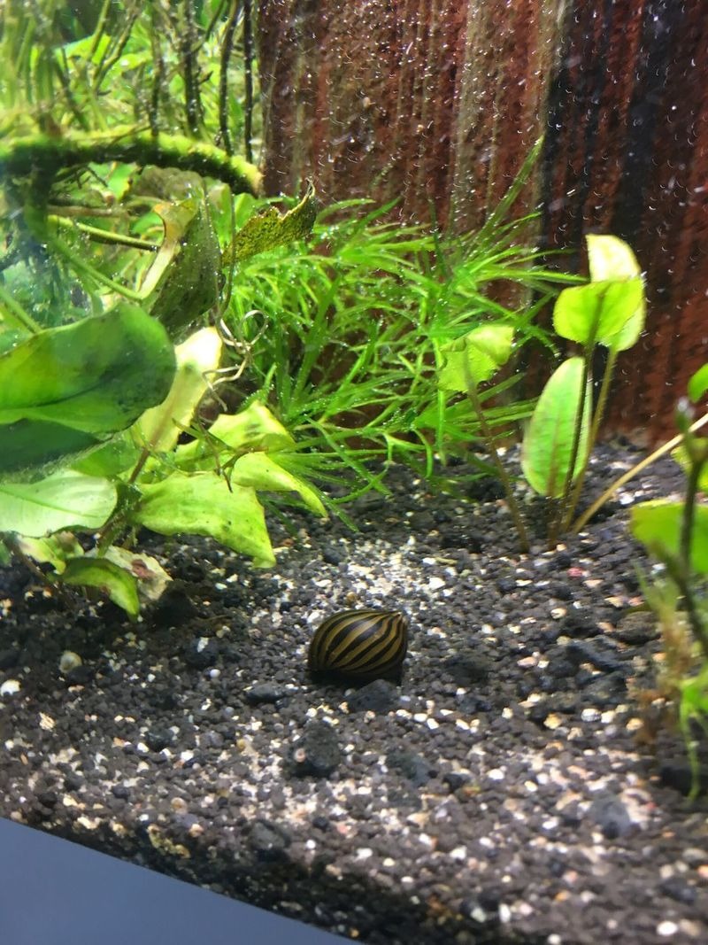 Zebrarennschnecke Animal Themes Snail Animals In The Wild One Animal Wildlife Leaf Nature No People Plant Animal Wildlife