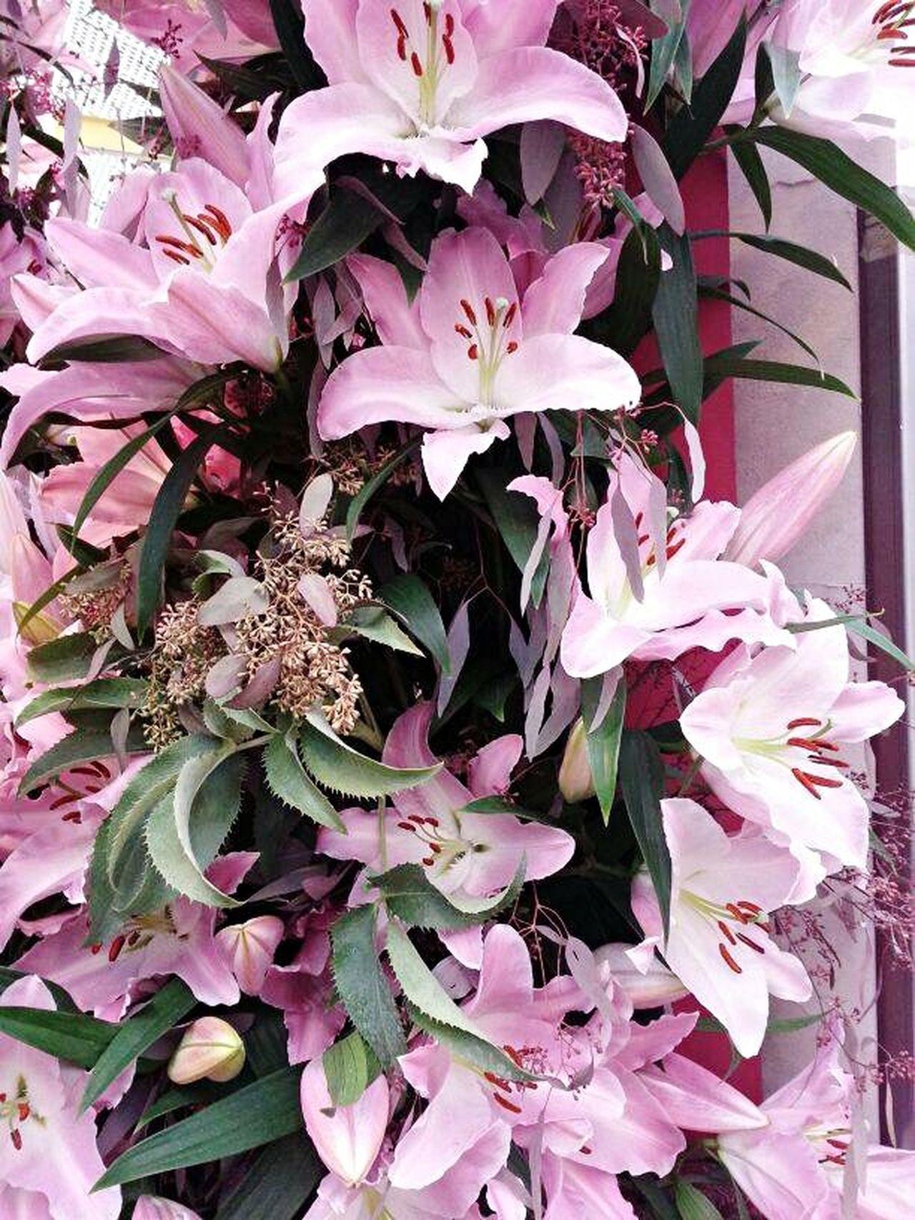 Lilium Gigantes Bloemen Flowers Rosé