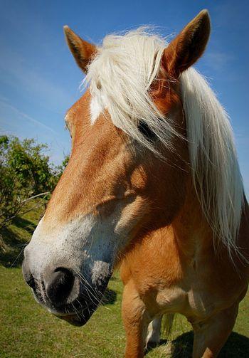 Eye4photography  EyeEm Best Shots Eyembestshots Animals Pferde Haflinger Pony Horse Paard Eyem Best Shots