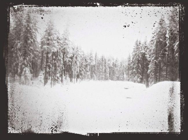 Snow Pine Trees Snow Trees