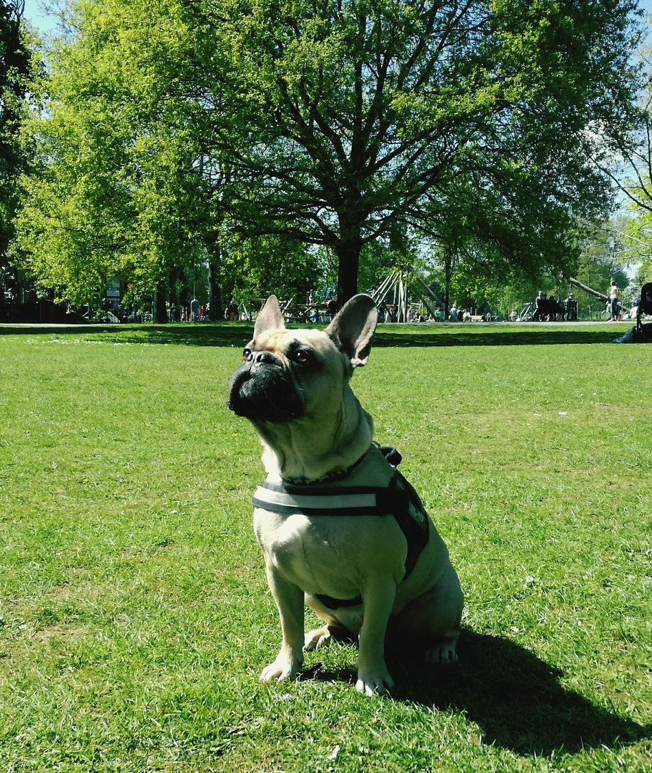 Looking after this one Frenchbulldog
