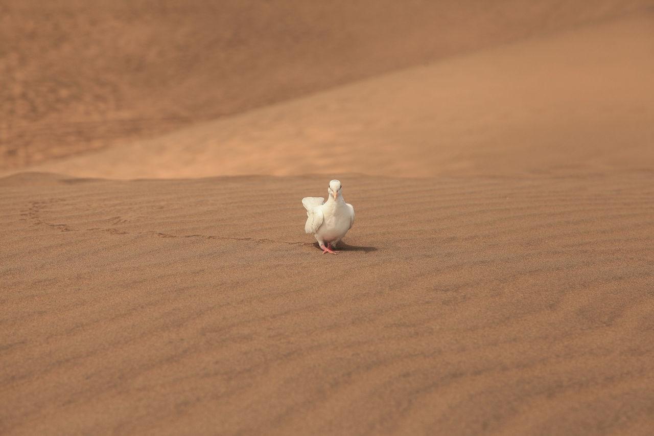 Beautiful stock photos of dove,  35-39 Years,  Animal Themes,  Animal Wildlife,  Animals In The Wild