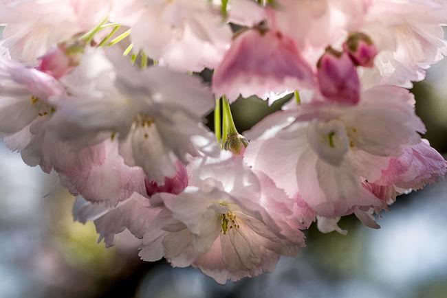 Cherry Blossoms At Night Cherry Tree Flower Flowers Japanese Cherry Tree. Pet Pink Pink Flower Spring Flowers