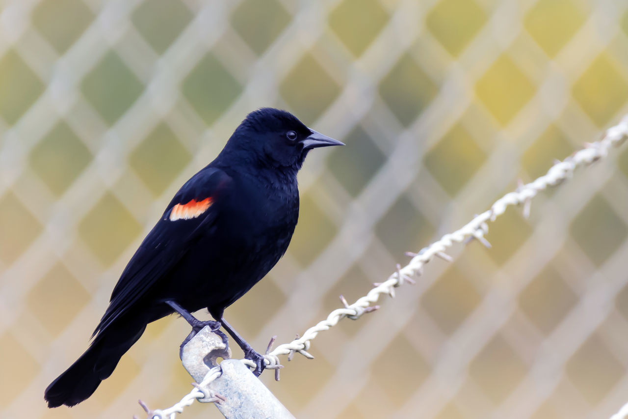 Red Wing Blackbird perched on a fence Animal Themes Animal Wildlife Animals In The Wild Beauty In Nature Bird Bird Photography Bird Watching Birds Of EyeEm  Birds_collection Birdwatching Close-up Day Fence Focus On Foreground Green Nature No People One Animal Outdoors Pattern Perched Perching Redwing Blackbird Redwingedblackbird Springtime