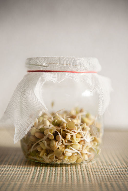 Fresh growing sprouts mix in glass jar with bandage standing on mat, domestic horticulture of healthy plants and seeds, detail of jar in vertical orientation, nobody. Bandage Beans Burgeon Burgeoning Cereal Germinate Glass Jar Grains Healthy Eating Mung No People Seed Seedling Seeds Soak Soaking  Sowing Sowing Seeds Sprout Sprouted Sprouting Sprouting Seeds Sprouts Swelling Wheat