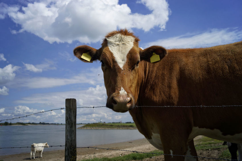 Relaxing cows on the riverside on a bright sun shining day. Country Living Daytime Nature Outdoor Pictures Reflection Relaxing River View Riverside Animal Animal Themes Cattle Country Life Cow Cows Day Farming Landscape Landscape_photography Outdoor Photography Outdoors River Riverbank Sky Water Waterfront