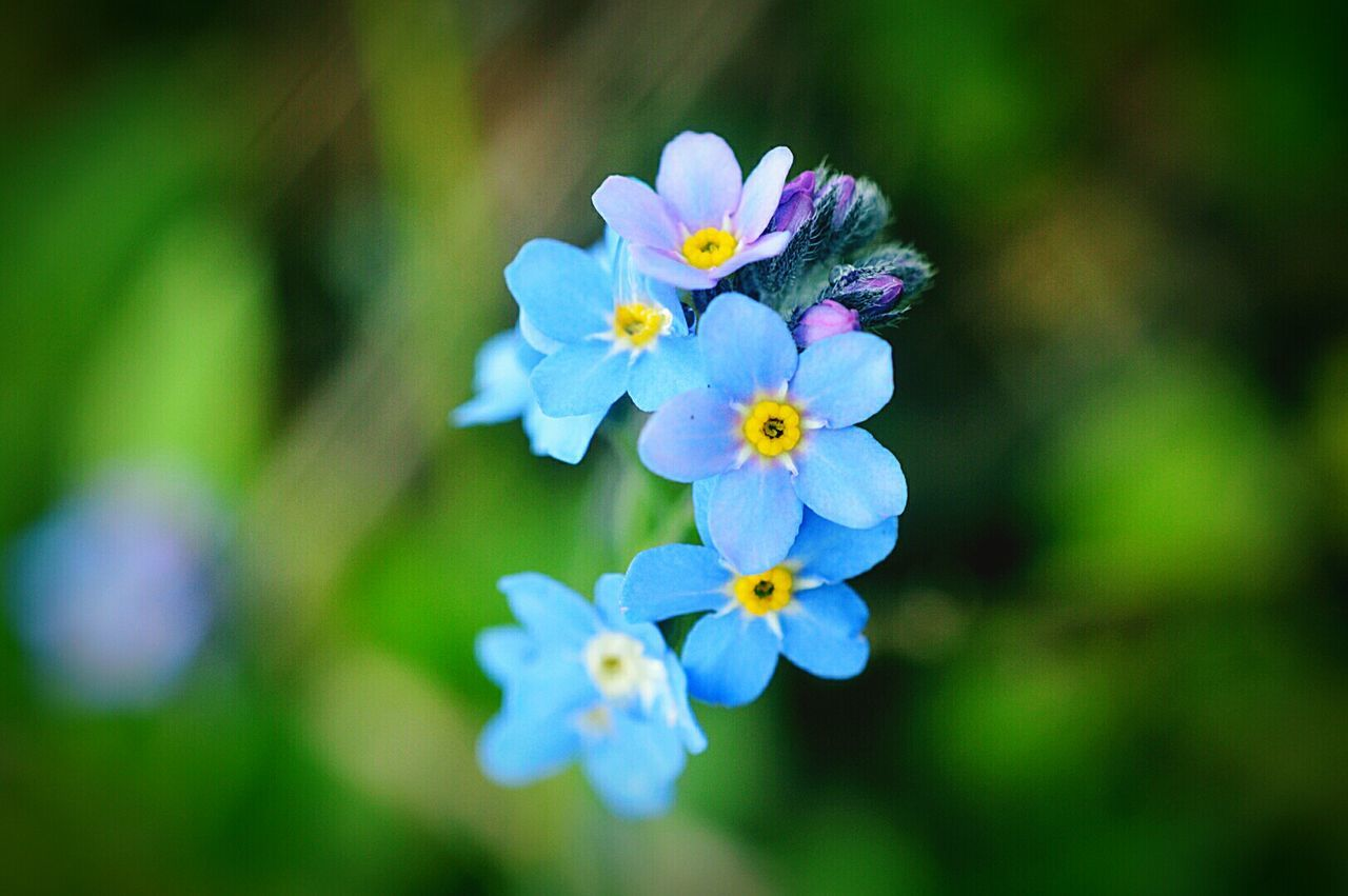 Forget Me Nots Blue Flowers Flower Flower Porn Weeds Are Beautiful Too Weeds Plants And Flowers Beauty In Nature Nature Nature Photography EyeEm Nature Lover Nikon D3200