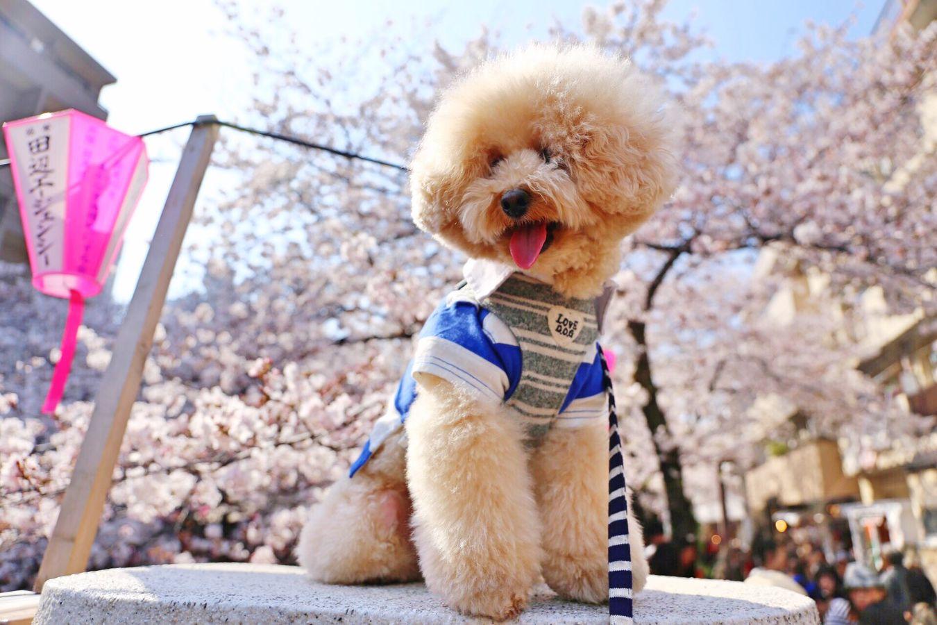 お花見 Japan Toypoodle Cutedogs I Love My Dog Nakameguro Enjoying Life DogLove Japon My Toypoodle