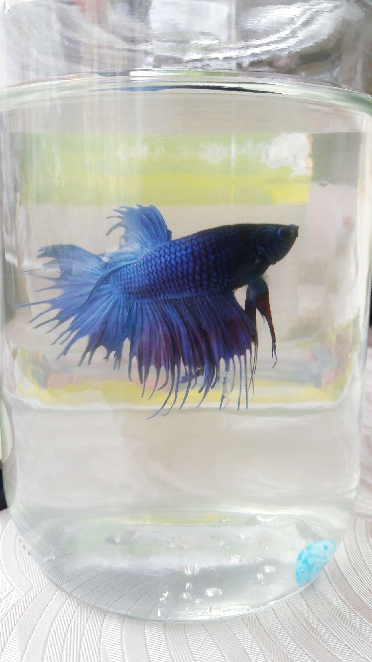 My Cute Fish I Love My Fish Dark Blue Blue Angry Beta Angry Beta Aquarium Aquarium Life Tasseled