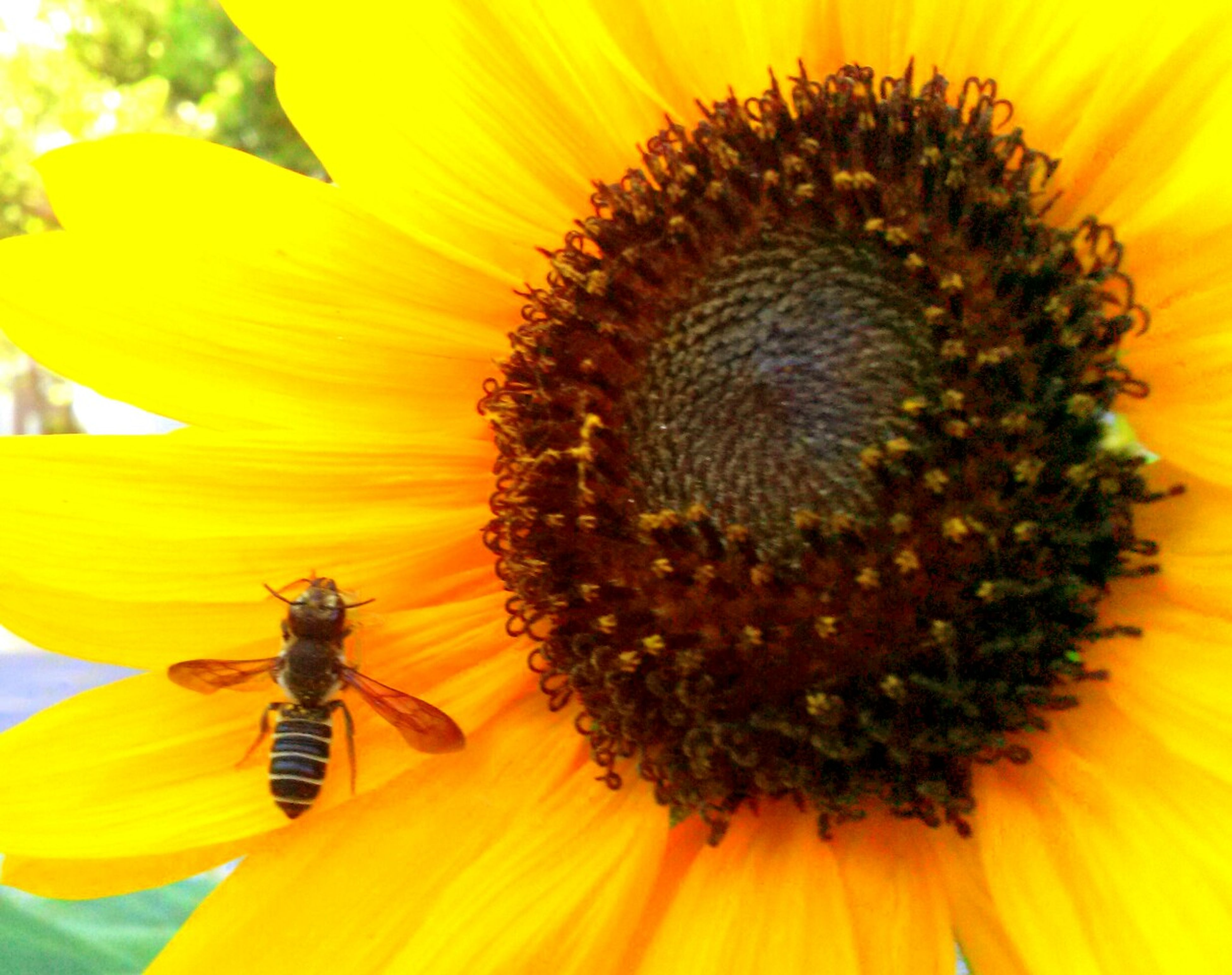 flower, insect, yellow, petal, animals in the wild, one animal, animal themes, flower head, wildlife, freshness, pollination, fragility, pollen, sunflower, close-up, beauty in nature, growth, symbiotic relationship, bee, nature