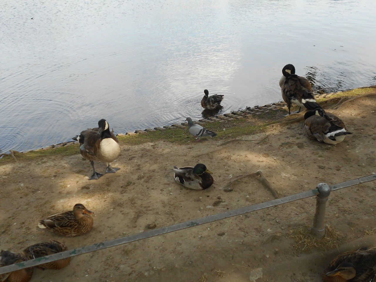 animal themes, high angle view, animals in the wild, bird, animal wildlife, large group of animals, lake, no people, young bird, water, day, young animal, nature, outdoors, goose, togetherness