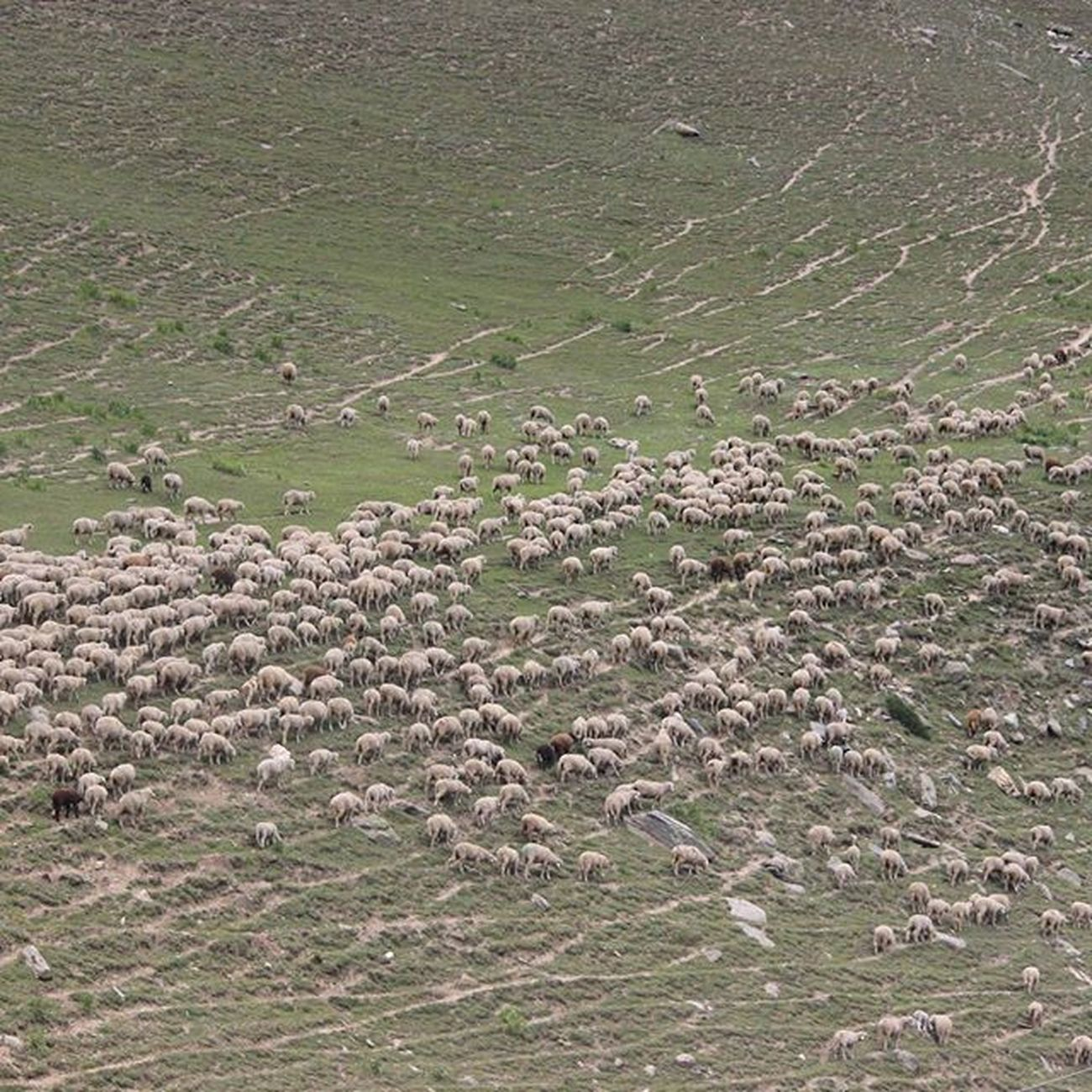 Grazing sheep's @ Ladakh in huge numbers. Where would people living on supply of these animal go after Meatban ? Sheep Graze Mountains Village Indiaclicks Everydayasia Indiapictures Democracy Photographers_of_india Hypocrite Natgeotravel Travelindia Traveldiaries Travel Everytimephotos
