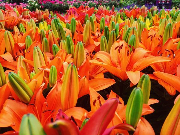Flowers Home Depot Flower Petal Beauty In Nature Fragility Freshness Nature Growth Flower Head Plant Blooming Backgrounds Outdoors Day No People Full Frame Close-up Springtime Bird Of Paradise - Plant Day Lily THE HOME DEPOT