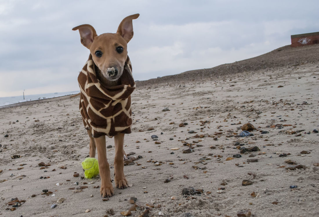 The search is over it was just a ball. Looking At Camera One Animal No People Portrait Dog Sand Pets Puppy Whippet Puppies Of Eyeem Puppies Southsea Portsmouth Hampshire  England
