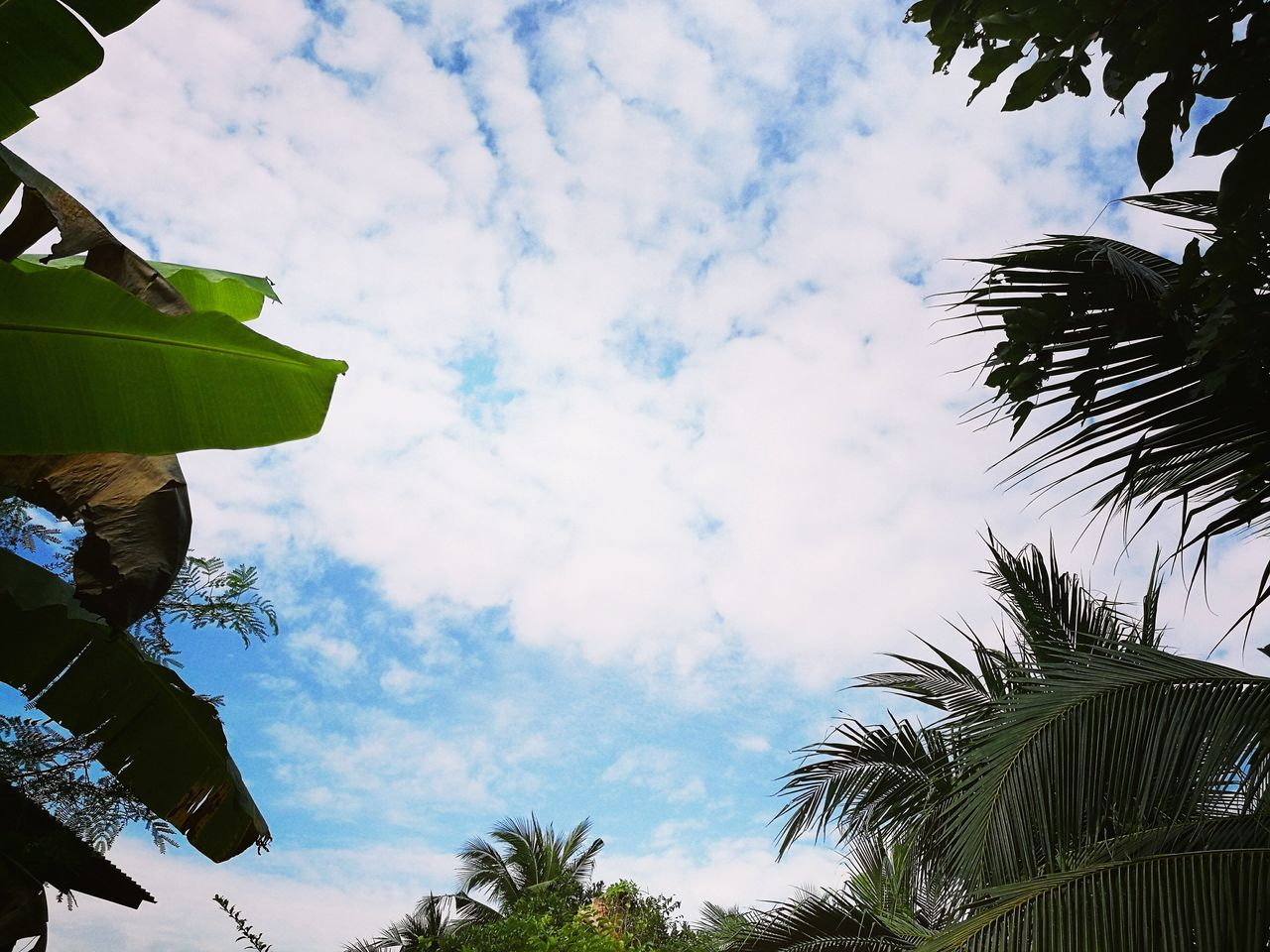 low angle view, cloud - sky, sky, tree, leaf, day, outdoors, no people, hanging, nature, growth, palm tree, branch, beauty in nature, freshness