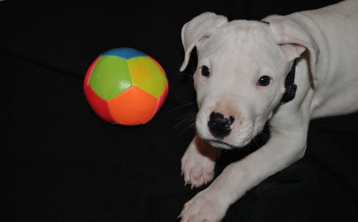 Animals Dog Dogo Argentino