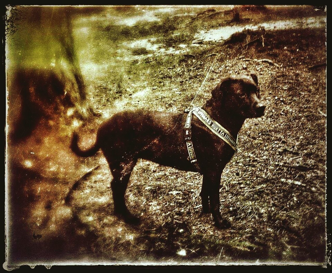 dog, animal themes, one animal, domestic animals, pets, mammal, full length, pet collar, no people, standing, outdoors, day, grass, nature