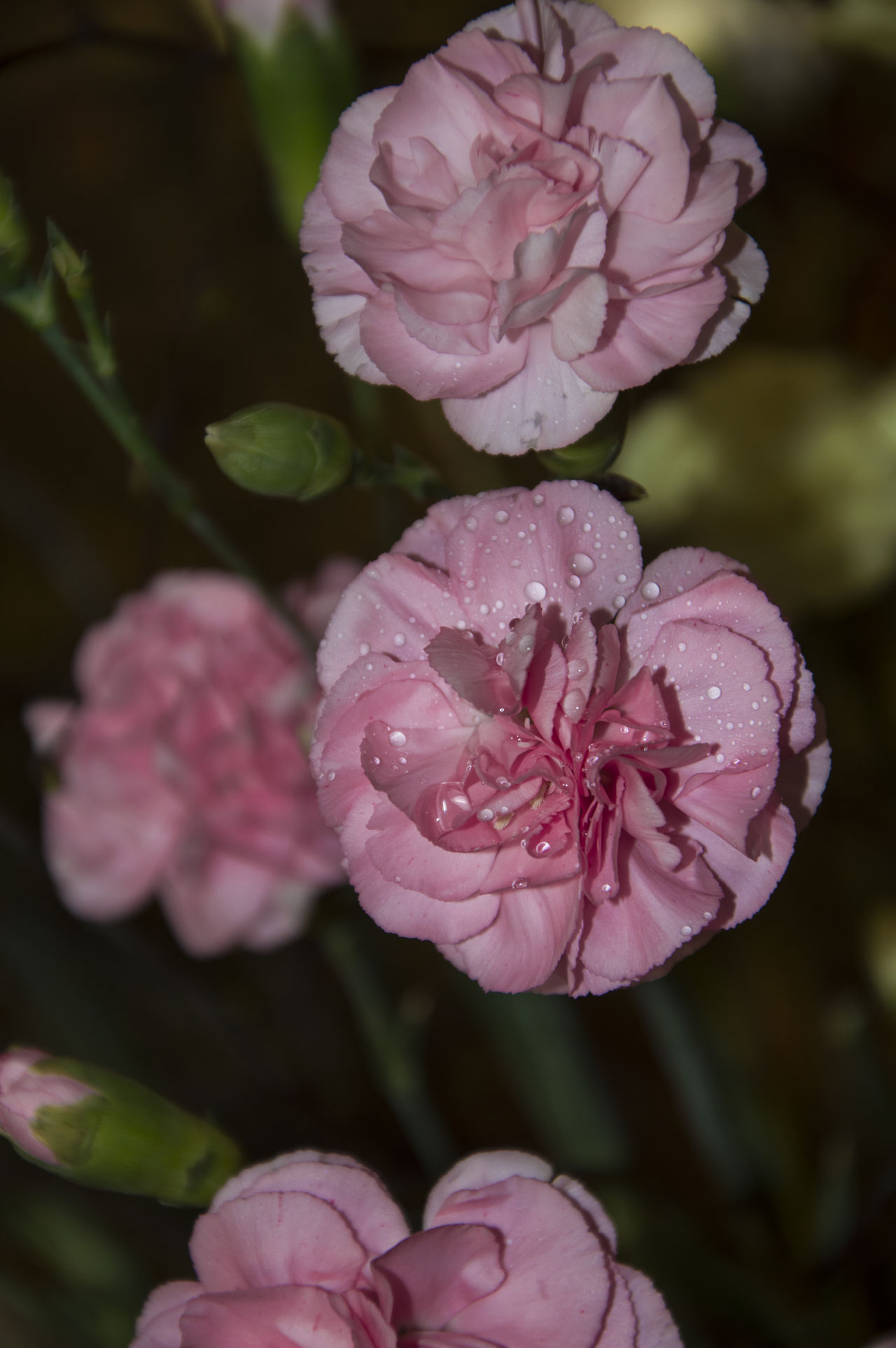carnation Beauty In Nature Blumen Carnation Carnation Flowers Carnations Flower Nature Nelken Pink Pink Color Pink Flower Pinke Bouquet Bloom Botany Blossom Color Image Flower Head Image Focus Technique Pink Stamen Selective Focus Focus On Foreground Flowers Millennial Pink