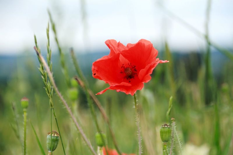 EyeEm Selects Red Poppy Flower Nature Plant Beauty In Nature Summer Uncultivated No People Outdoors Grass Springtime Flower Head Close-up Sauerland Nature Beauty In Nature Growth Beauty Closing Rural Scene Fragility Day