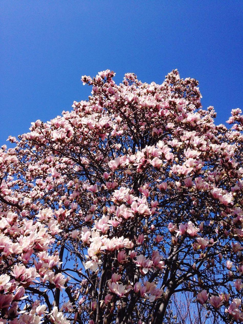 Beautiful stock photos of magnolia, Blossom, Botany, Branch, Clear Sky