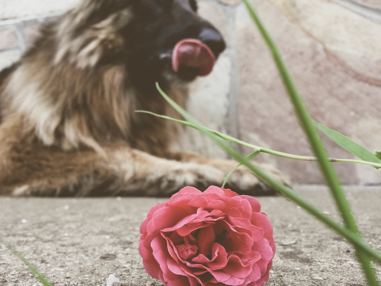 flower, petal, nature, close-up, fragility, no people, day, outdoors, one animal, domestic animals, animal themes, freshness, flower head, pets, mammal, beauty in nature