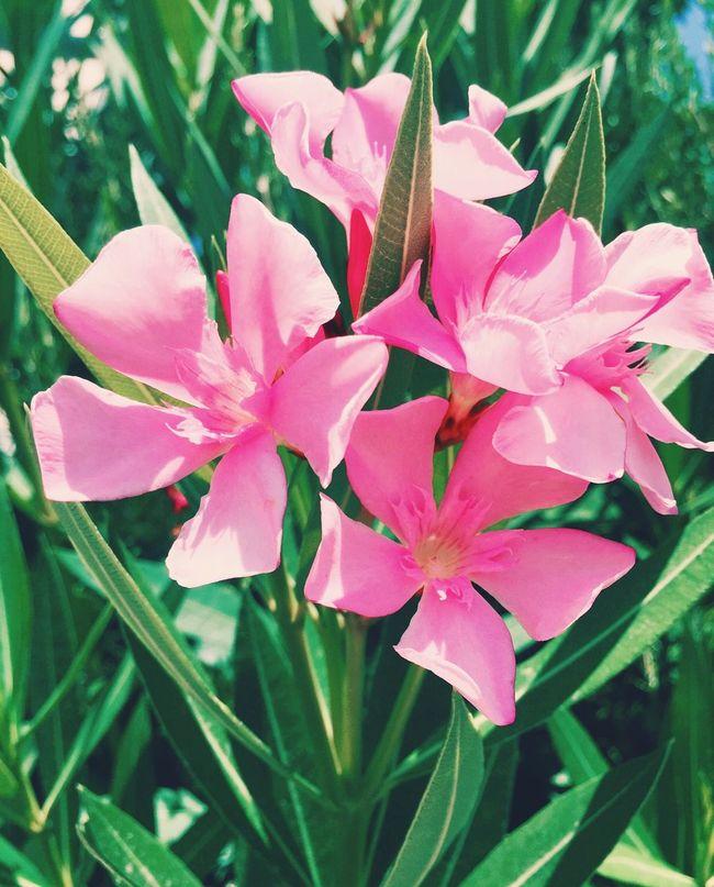 Sunshine Flowers Flowers,Plants & Garden EyeEm Nature Lover Taking Photos Pink Flower Hotday