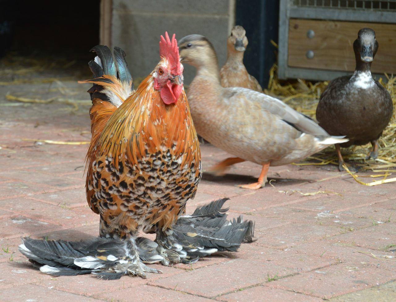 Beautiful stock photos of chicken, Animal Themes, Beak, Bird, Chicken