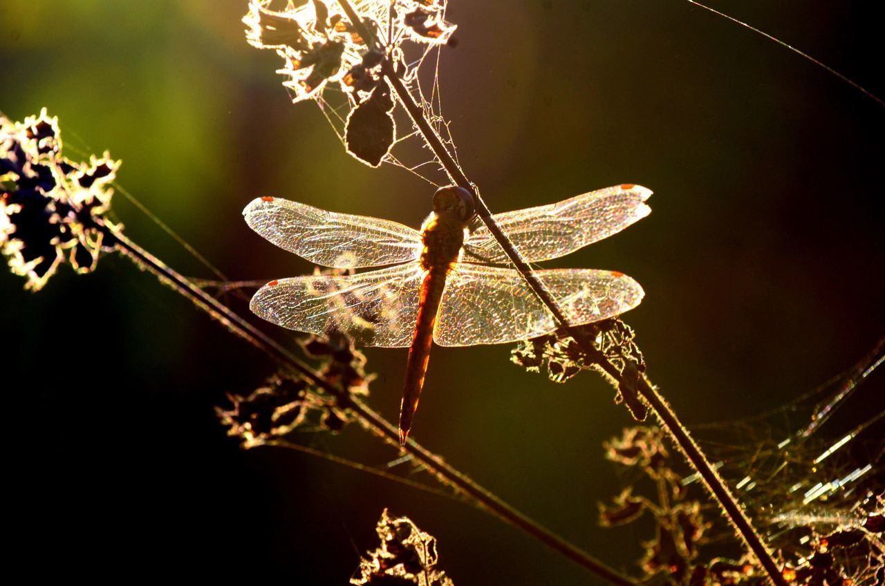 Dragonfly On Plant At Dusk