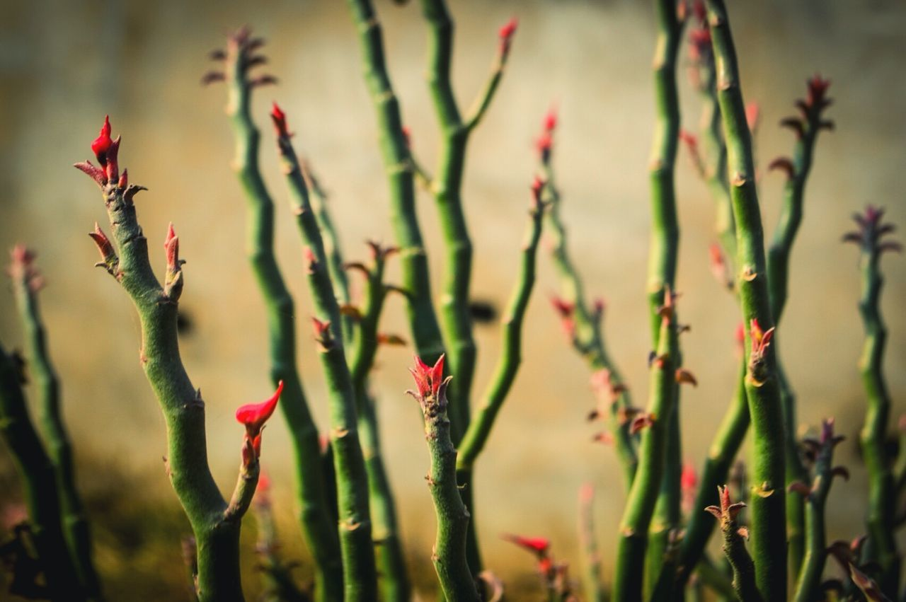 growth, nature, plant, beauty in nature, flower, red, no people, fragility, outdoors, freshness, day, tranquility, close-up